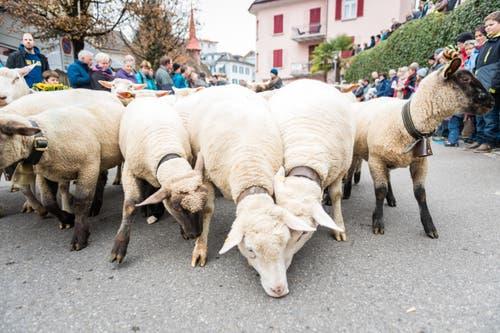 Familie von Rickenbach brachte Schafe ins Dorfzenturm mit. (Bild: Roger Grütter (LZ))