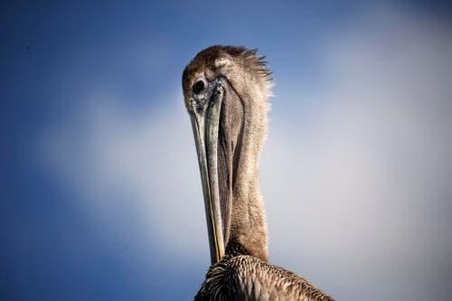 Ein Pelikan sitzt in der Nähe von Miami in der Sonne. (Bild: AP / Pat Carter)