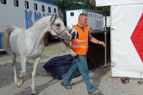 Ein Pferd wird vom Transporter in den aufgebauten Stall gebracht. (Bild: René Meier / Luzernerzeitung.ch)