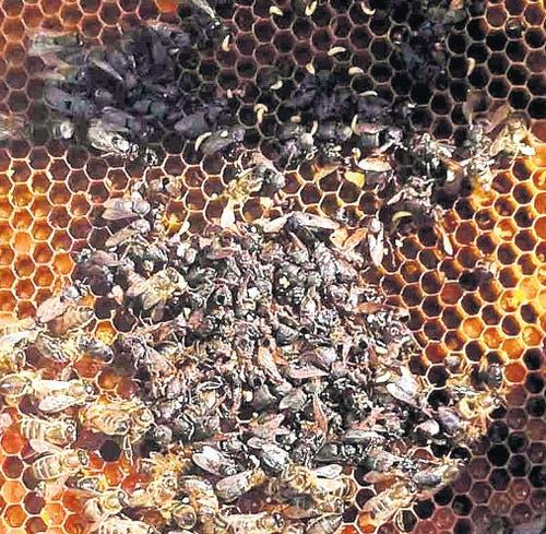 31. März: Der Kanton Uri wird wegen einer drohenden Bienenseuche zum Sperrgebiet. Verursacher ist der Kleine Beutenkäfer, ein Schädling, der vermutlich von Italien her in den Kanton Uri eingedrungen ist. (Bild: Vik Gisler)
