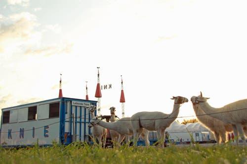 Lamas sind «parkiert». (Bild: René Meier / Luzernerzeitung.ch)