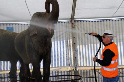 Franco Knie duscht einen seiner drei Elefanten. (Bild: René Meier / Luzernerzeitung.ch)
