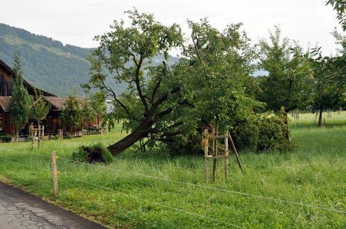 Ein ausgerissener Baum in Oberdorf. (Bild: Oliver Mattmann / Neue NZ)