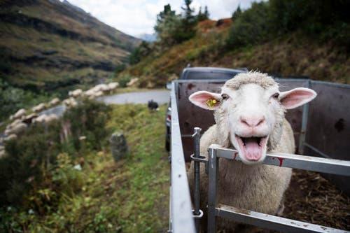 650 Schafe werden von der Canalalp nach Vals getrieben, wo sie bei der «Schafteilet» auf ihre Besitzer aufgeteilt werden. (Bild: Keystone / Gian Ehrenzeller)