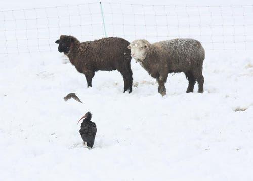 18.02.2013: Immer wieder scheitert der Fangversuch, den Waldrapp Shorty in Risch zu fangen. Auf dem Bild gesellt er sich zu weidenden Schafen. Ende Juli taucht er in Bayern auf. (Bild: PD)