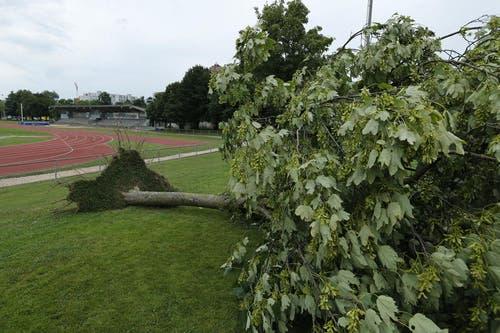 Im Leichtathletikstadion Herti Allmend wurde ein Baum samt Wurzel aus dem Boden gerissen. (Bild: Stefan Kaiser / Neue ZZ)