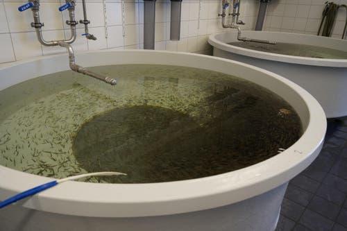 Die Fische sammeln sich um das Futter. (Bild: Raphael Biermayr / Neue ZZ)