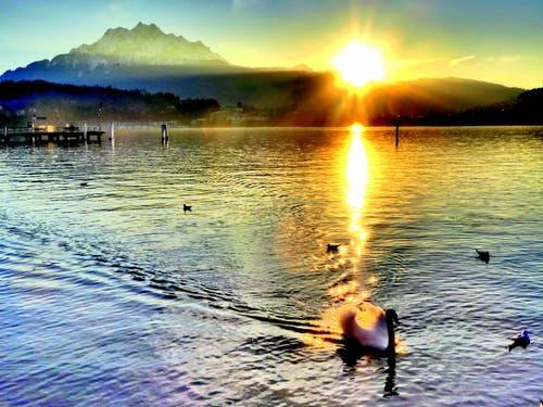 Dieser Schwan geniesst die letzten Sonnenstrahlen. (Bild: Buholzer Walter)