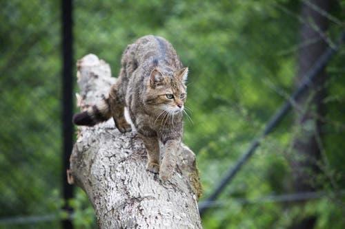 Sie sehen aus wie getigerte Hauskatzen... (Bild: Manuela Jans / Neue LZ)