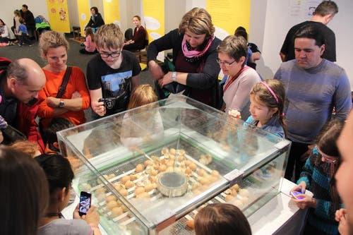 Wo schlüpft das nächste Küken? Die Besucher beobachten die Eier im Schaukasten des Naturmuseums in Luzern. (Bild: Ramona Geiger / luzernerzeitung.ch)