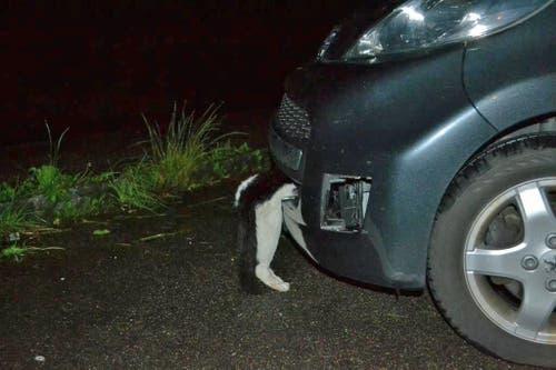 Die Fahrerin bemerkte den unglücklichen Zusammenprall auf der Autobahn A14 nicht – erst an ihrem Wohnort fand sie das schwerverletzte Tier. (Bild: Luzerner Polizei)