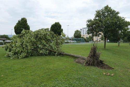 Im Leichtathletikstadion Herti Allmend in Zug wurde ein Baum samt Wurzel aus dem Boden gerissen. (Bild: Stefan Kaiser / Neue ZZ)