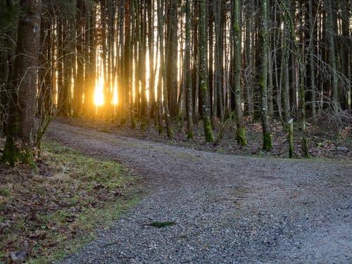 Sonnenuntergang im dichten Erlenwald. (Bild: Hubert Zurbuchen)