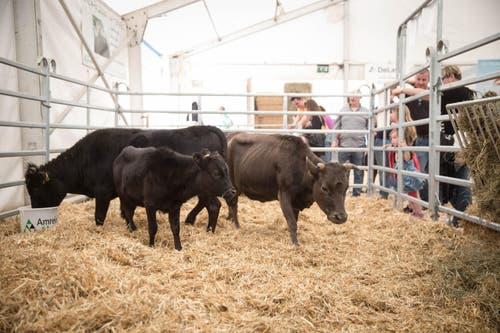 Die Besucher schauen auf die knapp einen Meter grosse Dahomey-Kuh Fara, den Stier Imini und das Kalb Malawi hinunter. (Bild: Manuela Jans / Neue LZ)