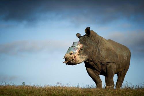 26. Mai: Ein Nashorn ohne Horn, das ist das Ergebnis einer Rettungsaktion. Das vierjährige Nashorn-Weibchen, Bewohnerin des Shamwari Game Reservats in Südafrika, war von Wilderern betäubt und des wertvollen Horns beraubt worden. Spezialisten haben dem Tier nun eine passgenaue Platte auf der Wunde angebracht. 2014 haben Wilderer in Südafrika 1215 Nashörner getötet. (Bild: EPA / Adrian Steirn)