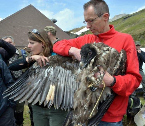 Die jungen Bartgeier verfügen schon über eine beträchtliche Flügelspannweite. Trudi zeigt das gerne! (Bild: Romano Cuonz / Neue OZ)