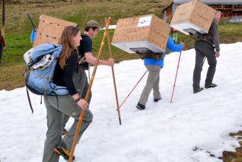 Der Transport der Bartgeier-Kinder zu ihrem neuen Horst geht über Schneefelder hinauf zur Hengliswang. (Bild: Romano Cuonz / Neue OZ)
