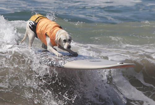 Bei einem Surf-Wettbewerb für Hunde standen viele der vierbeinigen Teilnehmer ganz allein auf den Brettern. (Bild: Keystone)