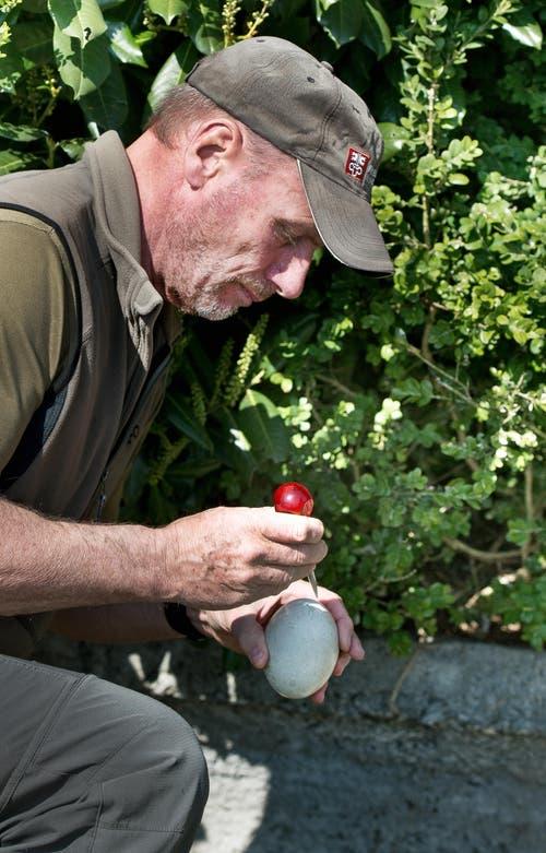 Hubert Käslin sticht in vier der fünf Eier mit einer Ahle ein Loch hinein. Durch das kleine Loch in der Schale gelangt Luft ins Ei und die weitere Entwicklung ist gestoppt. (Bild: Corinne Glanzmann (Neue NZ))