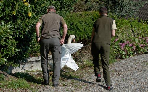 Vor dem Griff ins Nest muss der brütende Schwan zum Aufstehen gebracht werden. (Bild: Corinne Glanzmann (Neue NZ))
