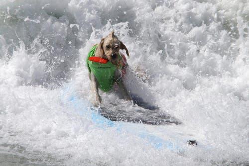 Behaarte, vierbeinige Surfer sind in die Wellen von Kalifornien gestiegen. (Bild: Keystone)