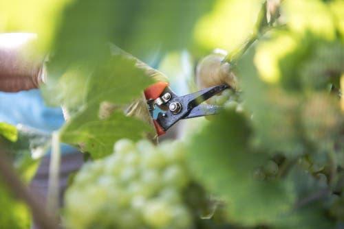 Die Trauben werden von Hand geerntet, der Boden wird schonend gepflegt. (Bild: Mareycke Frehner)