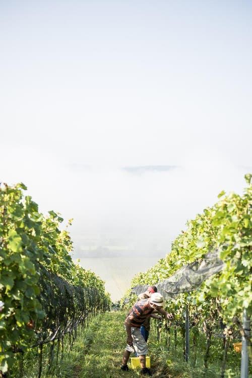 Die Betriebsfläche des Weingutes umfasst 18 Hektaren, davon sind 15 Hektaren mit Reben bestockt. (Bild: Mareycke Frehner)