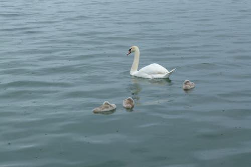 Eine Schwanenmutter schwimmt mit ihren Jungen in Rorschach. (Bild: Franz Schildknecht)
