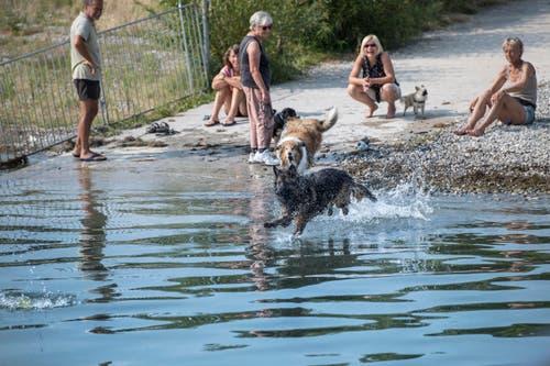 Auch für Hunde dürfte es bei 30 Grad zu heiss werden. Ein Sprung ins kühle Nass schafft Abhilfe. (Bild: Ralph Ribi)