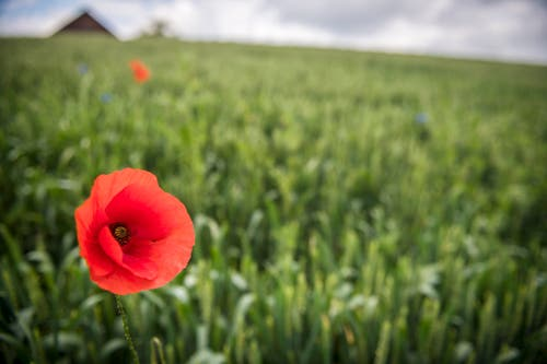 Eine Mohnblume dient als Ackerbegleitflora. (Bild: Reto Martin)