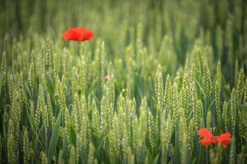 Mohn im Weizenfeld. (Bild: Reto Martin)