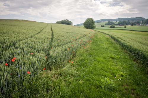 Auf einem Streifen von rund drei Metern wurde die Ackerbegleitflora gesät. (Bild: Reto Martin)
