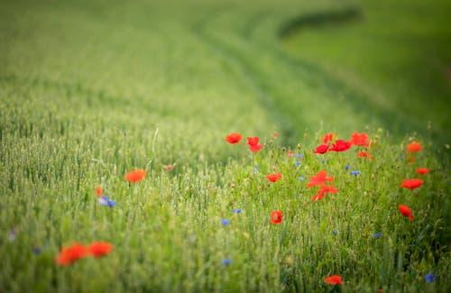 Landschaftsqualitätsprojekt: Getreidefeld mit Ackerbegleitflora - wie Mohn und Kornblumen - in Märstetten. (Bild: Reto Martin)