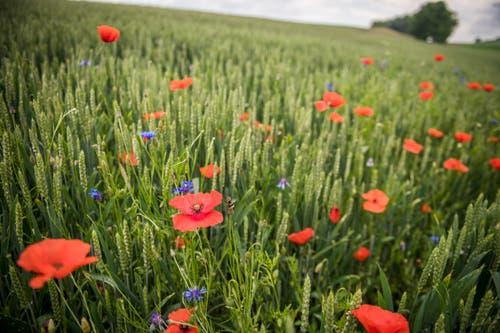 Mohn- und Kornblumen sind Ackerbegleitflora. (Bild: Reto Martin)