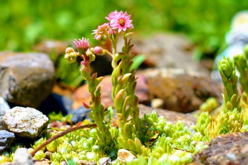 Blühender Hauswurz im Garten. (Bild: Markus Spies)