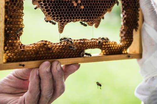 Die symmetrischen Waben füllen die Bienen mit Vorräten oder die Königin legt ihre Eier hinein.