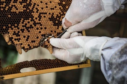 In diesen Weiselzapfen wachsen Königinnen-Larven heran: Die Brut wird von den Arbeiterbienen mit Gelée Royal genährt.