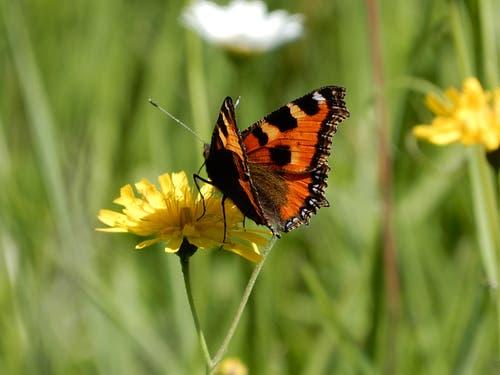 Schmetterlinge, kleine Wunder der Natur (Bild: Irene Weibel)