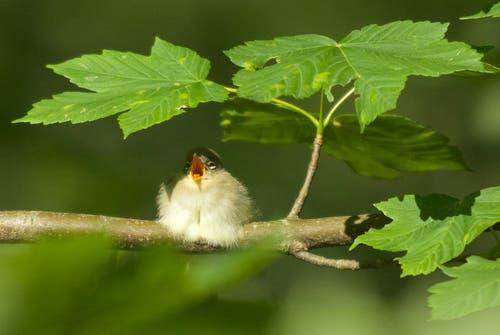 Ein junger hungriger Zilpzalp unter dem Blätterschirm in Trogen (Bild: Hans Aeschlimann)