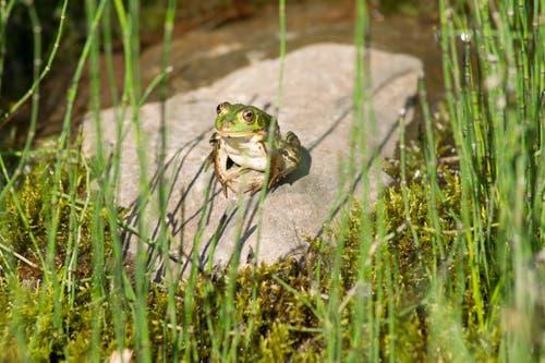 Ein Frosch beim Sonnenbad (Bild: Margrith Hengartner)