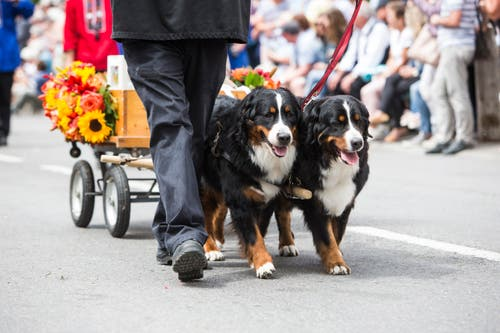 Festumzug am Jodlerfest Schötz. Im Bild: Zuchtverband für Schweizer Hunderassen. (Bild: Manuela Jans-Koch. Schötz 24.Juni 2018)