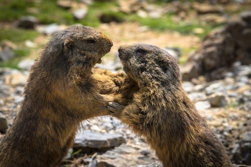 Revierkampf bei den Murmeltieren im Wildpark Peter und Paul in St. Gallen. (Bild: Daniel Bertsch)