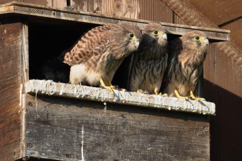 Junge Turmfalken geniessen die Aussicht und warten auf das Futter. Noch 2-3 Tage, dann werden sie ausfliegen. (Bild: Urs Fankhauser)