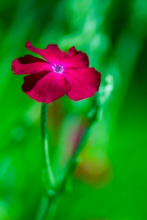 Eine Samtnelke zieht mit ihrer kräftigen Farbe alle Blicke an. (Bild: Matthias Rozinek)