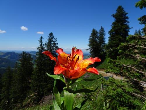 Seltene Feuerlilie am Kamor. (Bild: Toni Weder)