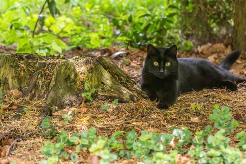 Die Katze in Nachbars Garten (Bild: Franziska Hörler)