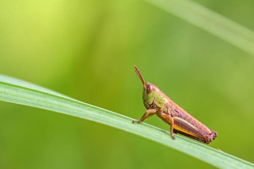 Eine Heuschrecke im Gras (Bild: Franziska Hörler)