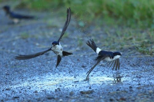 Mehlschwalben im Flug. (Bild: Hans Aeschlimann)