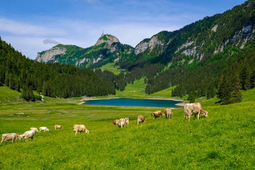 Kühe grasen vor dem Sämtisersee . (Bild: Luciano Pau)
