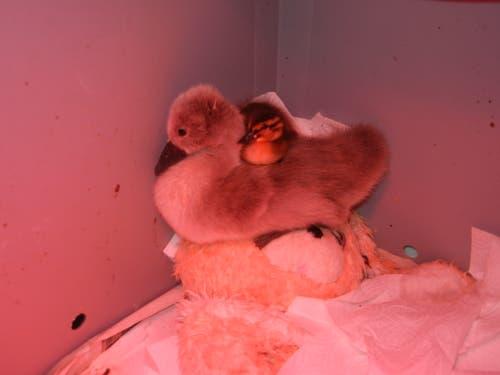 Waisen trösten sich gegenseitig: Ein Jungschwan und ein Entlein kuscheln sich unter der wärmenden Rotlichtlampe aneinander. (Bild: Christian Müller - 16. Mai 2012)